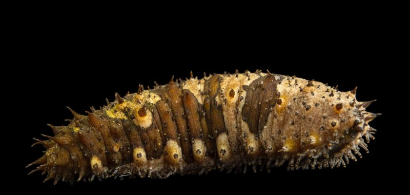 Sea Cucumber Smugglers Made Millions On Delicacy