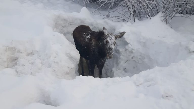 Baby Moose rescued by motorist in British Columbia