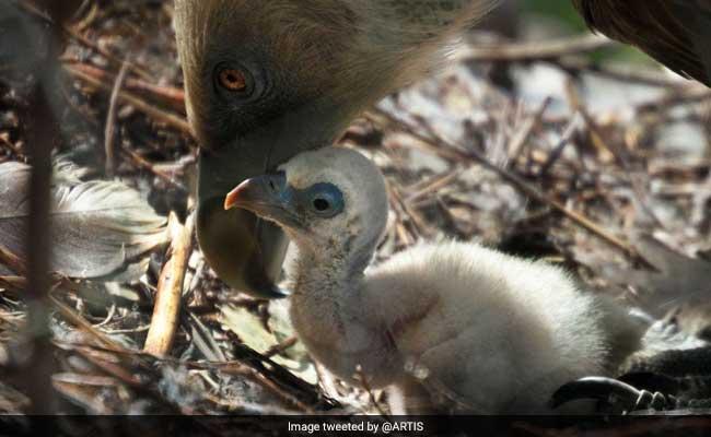 Same-Sex Vulture Couple Hatches Abandoned Egg